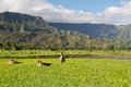 Nene geese in hanalei valley on kauai ducks or island of with taro plants and na pali mountain range the background Stock Photography