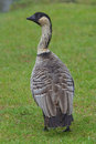 Nene hawaii goose portrait of a on big island Royalty Free Stock Image