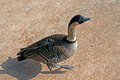 Nene Hawaiin Goose in Princeville Kauai Hawaii Royalty Free Stock Photo