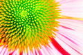 Neon echinacea or purple coneflower Stock Image