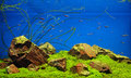 Neon fishes in freshwater aquarium with rocks grass and Royalty Free Stock Photo