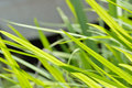 Neon green grass blowing in wind background Royalty Free Stock Photo