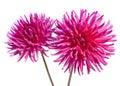 Neon pink dahlia Royalty Free Stock Photo