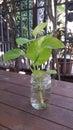 Neon pothos, popular houseplants Royalty Free Stock Photo