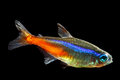 Neon Tetra Royalty Free Stock Photography