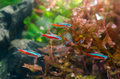 Neon tetra fish with aquatic plant in aquarium Stock Image