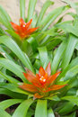 Neoregelia compacta in garden thai land Stock Photography