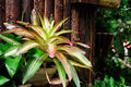 Neoregelia in a garden in nanjing china Royalty Free Stock Image