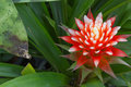 Neoregelia landscaping pineapple colored home Stock Images