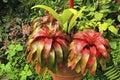 Neoregelia plant caribbean in botanical garden barbados Royalty Free Stock Photo