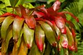 Neoregelia plant caribbean in botanical garden barbados Stock Photo