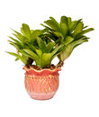 Neoregelia in pots on white background and isolated Royalty Free Stock Photos