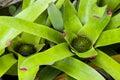Neoregelia Spectabilis Hybrid pineapple plant. Royalty Free Stock Images