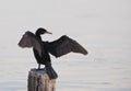 Neotropical Cormorant Royalty Free Stock Photos