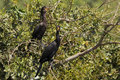 Neotropical cormorants perched on bushes closeup of or olivaceous showing blue eyes and webbed feet Stock Photos