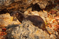 Neotropical otter lontra longicaudis sitting on the rock river coast rare animal in the nature habitat rio negro pantanal br Stock Photos