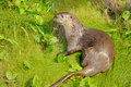 Neotropical River Otter Stock Images