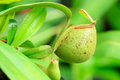 Nepenthes tropical carnivore plant pitcher monkeys cup Royalty Free Stock Photo