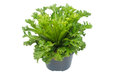 Nephrolepis biserrata Scott fern Royalty Free Stock Photo