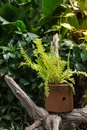Nephrolepis exaltata in the pot. Royalty Free Stock Photo