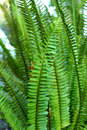 Nephrolepis exaltata , The Sword Fern Royalty Free Stock Photo