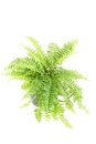 Nephrolepis fern Royalty Free Stock Photo