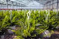 Nephrolepis Green Lady, houseplants cultivated as decorative or Royalty Free Stock Photo