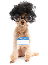 Nerd wearing name tag a poodle with big hair big glasses and a blank hello my is isolated on a white background Stock Photo