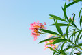 Nerium oleander on blue sky background Royalty Free Stock Images