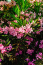 Nerium oleander flowers commonly known as is a highly toxic plant that has been cultivated since ancient times Stock Photos