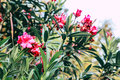 Nerium oleander Royalty Free Stock Photo
