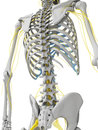 Nerves and skeleton d rendered illustration Royalty Free Stock Photography