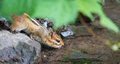 Nervous chipmunk tamias drinks at the river s edge smallest member of squirrel family eastern risks his life taking a drink from Stock Photography
