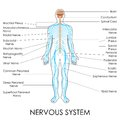 Nervous system vector illustration of diagram of Royalty Free Stock Image