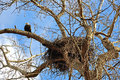 Nest of american bald eagles with an eagle on nearby branch delta bc Royalty Free Stock Photography