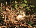 Nest baby bird egg dove Royalty Free Stock Photo