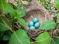 Nest of bird with five blue eggs. Royalty Free Stock Photo