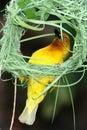 Nest Building Weaver