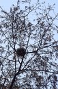 Nest in Casuarina Equisetifolia Tree with Branches and Leaves in Abstract Pattern Royalty Free Stock Photo