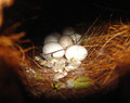 Nest with eggs Royalty Free Stock Photo