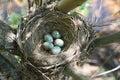 Nest of Fieldfare, Turdus pilaris Stock Images