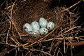Nest of Hawfinch,(Coccothraustes) Royalty Free Stock Images