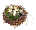 Nest with quail eggs and birds feather Stock Photo