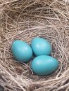 Nest of Robin's Eggs Royalty Free Stock Photo