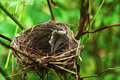 Nest of song-bird in bush Royalty Free Stock Photo