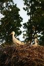 Nest of storks Royalty Free Stock Photography