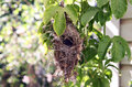 Nest sunbirds nectarinia osea wicker of dry grass is hanging on the branch of passiflora Stock Images