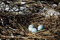 Nest with three eggs of gray heron Royalty Free Stock Photo