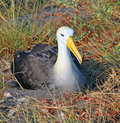 Nesting albatross on its eggs in española island in galapagos Stock Photos