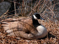 Nesting canada goose a canadian nests during the spring Stock Image